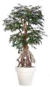 Myrsifolia Root 220 cm